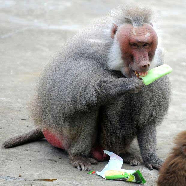 baboon with ice cream.jpg