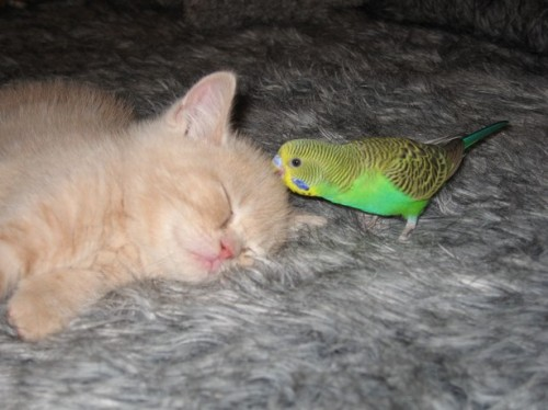 bird-kissing-kitten-parakeet-7.jpg