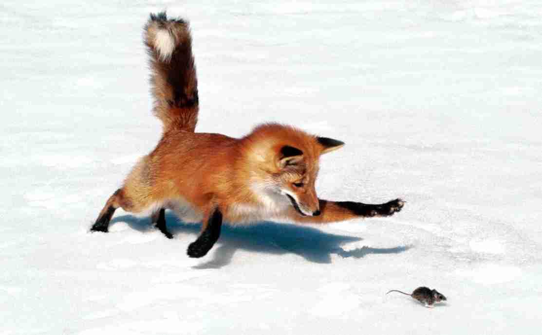 fox_mouse2.jpg