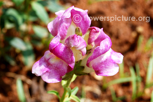 snapdragon-purple-with-white.jpg
