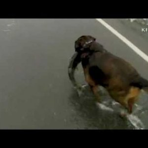 Dog catches salmon swimming across road - YouTube