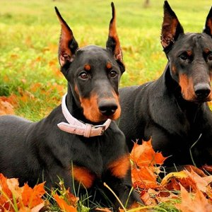 Doberman-Pinscher-Wallpaper.jpg