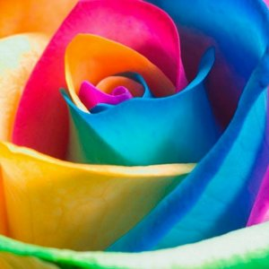 Are Rainbow Roses Real - Growing Rainbow Roses - Cut Flower Farming - Gardening - How to grow flower