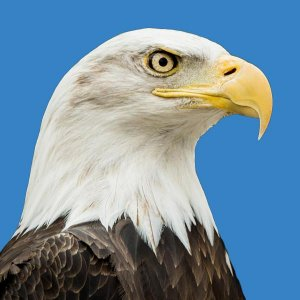 Bald-Eagle_Catalogue.jpg