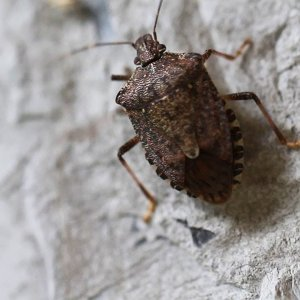 Fighting the Invasive Stinkbug | National Geographic